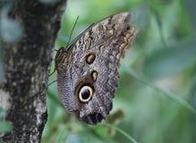 Бабочка сыча, atreus caligo Стоковая Фотография