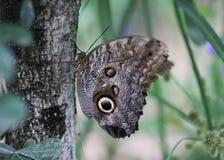 Бабочка сыча, atreus caligo Стоковая Фотография RF
