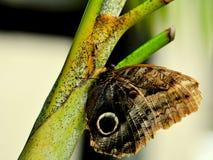 Бабочка сыча (Caligo) Стоковая Фотография
