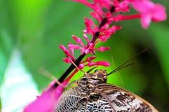 Бабочка сыча & strictum Odontonema Стоковые Изображения RF