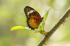 Бабочка с крылами Черно-апельсина Стоковая Фотография