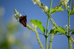 Бабочка с нюхом цветка Стоковые Фотографии RF