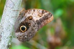 Бабочка с огромным глазом на крыле, эквадором Стоковая Фотография