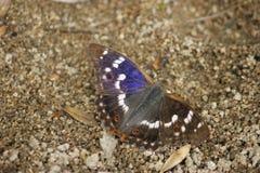 Бабочка с радужкой Apatura отражений стоковые изображения rf
