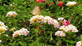 Бабочка с цветком сток-видео
