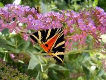 Бабочка тигра Джерси Стоковая Фотография RF
