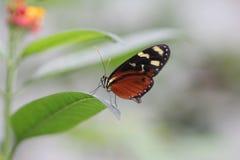 Бабочка тигра longwing, hecale Heliconius Стоковые Фото