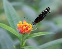 Бабочка тигра longwing, hecale Heliconius Стоковое Фото