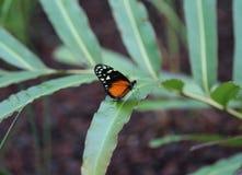 Бабочка тигра longwing, hecale Heliconius Стоковое Изображение