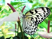 бабочка тропическая Стоковое фото RF