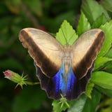 бабочка тропическая Стоковые Фото