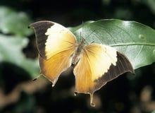 бабочка тропическая Стоковые Изображения