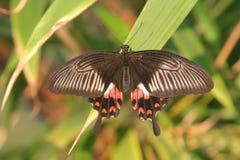 бабочка тропическая Стоковая Фотография RF