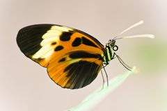 бабочка тропическая Стоковые Фотографии RF