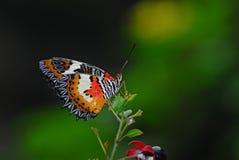 бабочка тропическая Стоковое Изображение RF