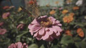 Бабочка устрашает отсутствующую пчелу от цветка акции видеоматериалы
