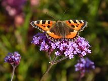Бабочка утра Стоковое Фото