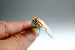 Бабочка уловленная рукой мертвая Стоковые Изображения RF