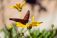 Бабочка ферзя на желтом цветке Стоковые Изображения