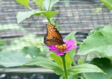Бабочка ферзя на фиолетовом цветени Zinnia Стоковое Изображение