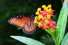 Бабочка ферзя на цветках Milkweed Стоковое Фото