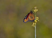 Бабочка ферзя проникать в Аризоне Стоковая Фотография