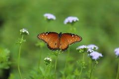 Бабочка ферзя Стоковое фото RF