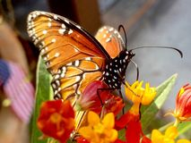 Бабочка ферзя Стоковое Изображение RF