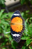 Бабочка ферзя Стоковые Фотографии RF