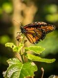 Бабочка ферзя Reina Стоковое Изображение