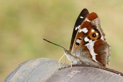 Бабочка фиолетового императора & x28; Iris& x29 Apatura; стоковые изображения rf