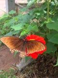 Бабочка флаттер красными цветками violacea Zinnia стоковое фото rf