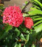 Бабочка флаттер цветками Ixora chinensis стоковая фотография