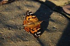 бабочка цветастая стоковое изображение