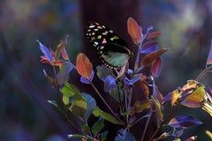 бабочка цветастая Стоковая Фотография