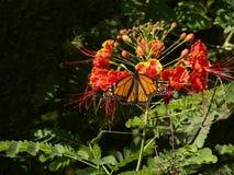 бабочка цветений Стоковые Изображения RF