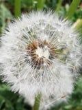 Бабочка цветка цветеня стоковые изображения