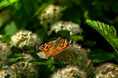 Бабочка цветок одичалый Стоковая Фотография