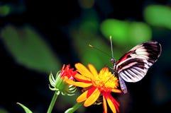 Бабочка черноты Longwing, красных & белых Стоковые Изображения