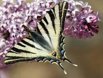 Бабочка чешуекрылые Стоковая Фотография
