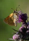 Бабочка шкипера Стоковые Изображения RF