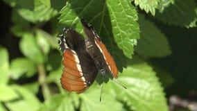 бабочка экзотическая сток-видео