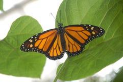 бабочка 01 Стоковое Изображение RF