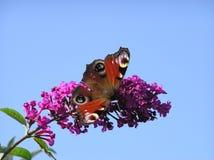 Бабочка 2 павлина Стоковое фото RF