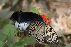 бабочка 2 Стоковые Изображения