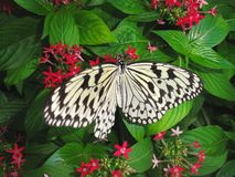 Бабочка Стоковая Фотография