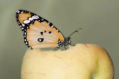Бабочка Стоковые Фотографии RF