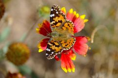 Бабочка 1 Стоковое Изображение RF