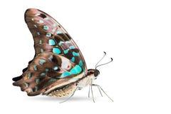 Бабочка agamemnon Джэй Graphium Teal замкнутая цветом Стоковые Изображения RF