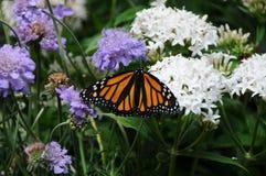 Бабочка archippus Limenitis наместника с цветками Стоковые Фотографии RF